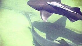 De haai van de het Strandcitroen van Miami stock video
