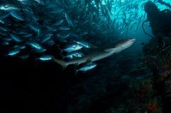 De haai van Whitetip Royalty-vrije Stock Foto's