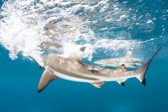 De Haaien van de Blacktipertsader in Ondiep Water Royalty-vrije Stock Fotografie