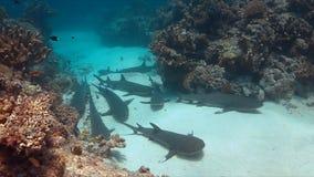 De Haaien van de Whitetipertsader op zandige bodem Stock Afbeeldingen