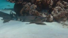 De Haaien van de Whitetipertsader op zandige bodem Stock Fotografie