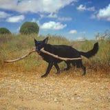 De haal houten stok van de Duitse herderhond stock foto