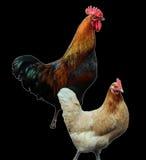 De haan en de kip Stock Fotografie