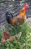 De haan kraait terwijl de kip op eieren zit Stock Fotografie
