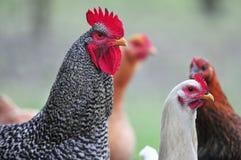 De haan met het is kippen stock foto's
