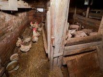 De haan met kippen in een landelijk kippenhuis Royalty-vrije Stock Foto's