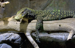 De hagedis geschubd reptiel van de Komodomonitor Stock Fotografie