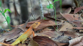 De hagedis van de Calotestuin (Agama) in bos in Thailand - 4k KLEM 2 stock footage
