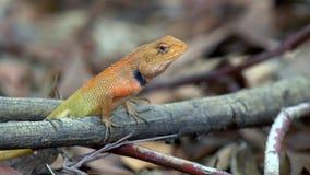 De hagedis van de Calotestuin (Agama) in bos in Thailand - 4k KLEM 4 stock videobeelden