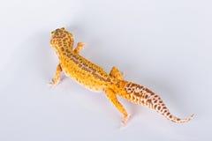 De hagedis van de gekko Royalty-vrije Stock Fotografie