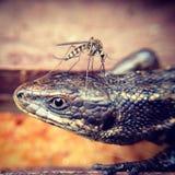 de hagedis van de muggenbeet Stock Fotografie