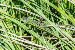 De hagedis van Nice bij het gras stock afbeelding