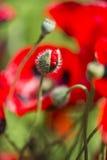 De half geopende knop van de papaverbloem Royalty-vrije Stock Afbeeldingen