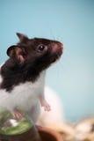 De hamster beklimt royalty-vrije stock foto