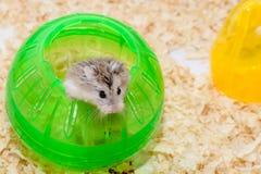 De hamster beklom uit de Groene Bol van Th Royalty-vrije Stock Afbeeldingen