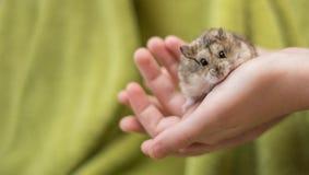 De hamster Cuteness in childs overhandigt stock afbeelding