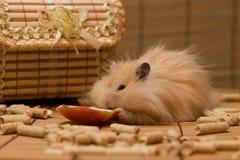 De hamster eet een appel Royalty-vrije Stock Afbeelding