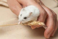 De hamster eet een zaad Stock Afbeelding