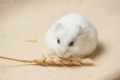 De hamster eet een zaad Royalty-vrije Stock Fotografie