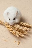De hamster eet een zaad Stock Afbeeldingen