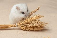 De hamster eet een zaad Royalty-vrije Stock Afbeeldingen