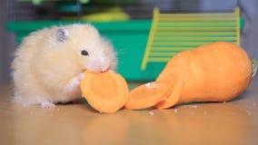 De hamster eet wortelen stock footage