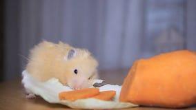 De hamster eet wortelen stock videobeelden