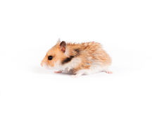 De hamster gaat Royalty-vrije Stock Afbeeldingen