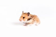 De hamster gaat Stock Foto