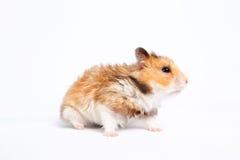 De hamster gaat Royalty-vrije Stock Afbeelding