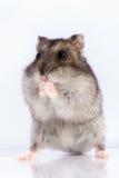 De hamster van Djungarian Stock Fotografie