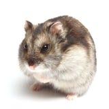 De hamster van Djungarian (sungorus Phodopus) royalty-vrije stock afbeelding