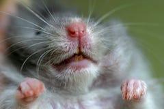 De hamster van het portret Stock Afbeeldingen