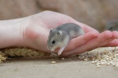 De hamster van Jungar royalty-vrije stock foto