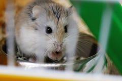 De hamster van Roborovski Royalty-vrije Stock Afbeelding