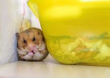 De hamster zit en maakt schoon Royalty-vrije Stock Fotografie