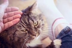 De hand die de oude pluizige kat strijken, die op de benen van een vrouw ligt, sluit omhoog Stock Foto