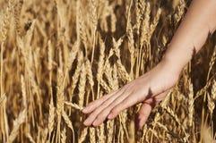 De hand die van de vrouw de stammen van tarwe strijkt Royalty-vrije Stock Afbeeldingen