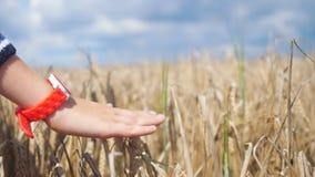 De hand draagt de oren van klokaanrakingen van tarwe Hand van een kind wat betreft rijpende tarweoren in de zomer Stock Foto