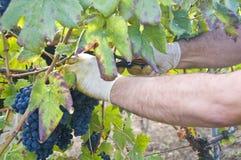 De hand en de druiven van de landbouwer Stock Afbeeldingen