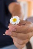 De hand geeft een kleine kamille of madeliefjebloem als romantische gift De zomerochtend in het dorp van het land stock afbeeldingen