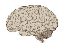 De hand getrokken correcte menselijke hersenen van de lijnkunst anatomisch Geïsoleerdee vectorillustratie vector illustratie