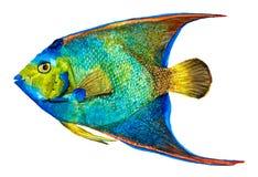 De hand getrokken Koningin Angelfish isoleerde op wit royalty-vrije stock foto's