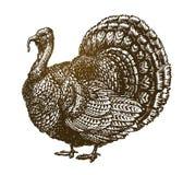 De hand getrokken vogel van Turkije Landbouwbedrijfdier, gevogelteschets Uitstekende vectorillustratie stock illustratie