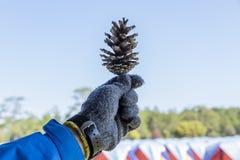De hand houdt de pijnboom stock afbeelding