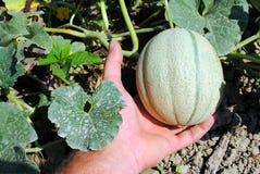 De hand van de mens met een organische meloen Royalty-vrije Stock Foto's