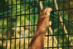 De hand van de orangoetan Royalty-vrije Stock Foto