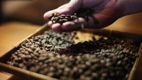 De hand van een barista selecteert geroosterde koffiebonen Geïsoleerd als voorbereiding op het maken van koffie