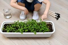 De hand van een kind richt aan koriander groen in een tuinbloempotten royalty-vrije stock foto's