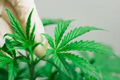 De hand van een medische professioneel en cannabisblad is een concept het kweken van marihuana door beroeps op een witte achtergr Stock Fotografie